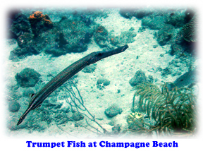 Trumpet fish at Champagne Beach